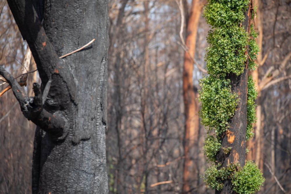 Forest regrowth following 2019-20 bushfires