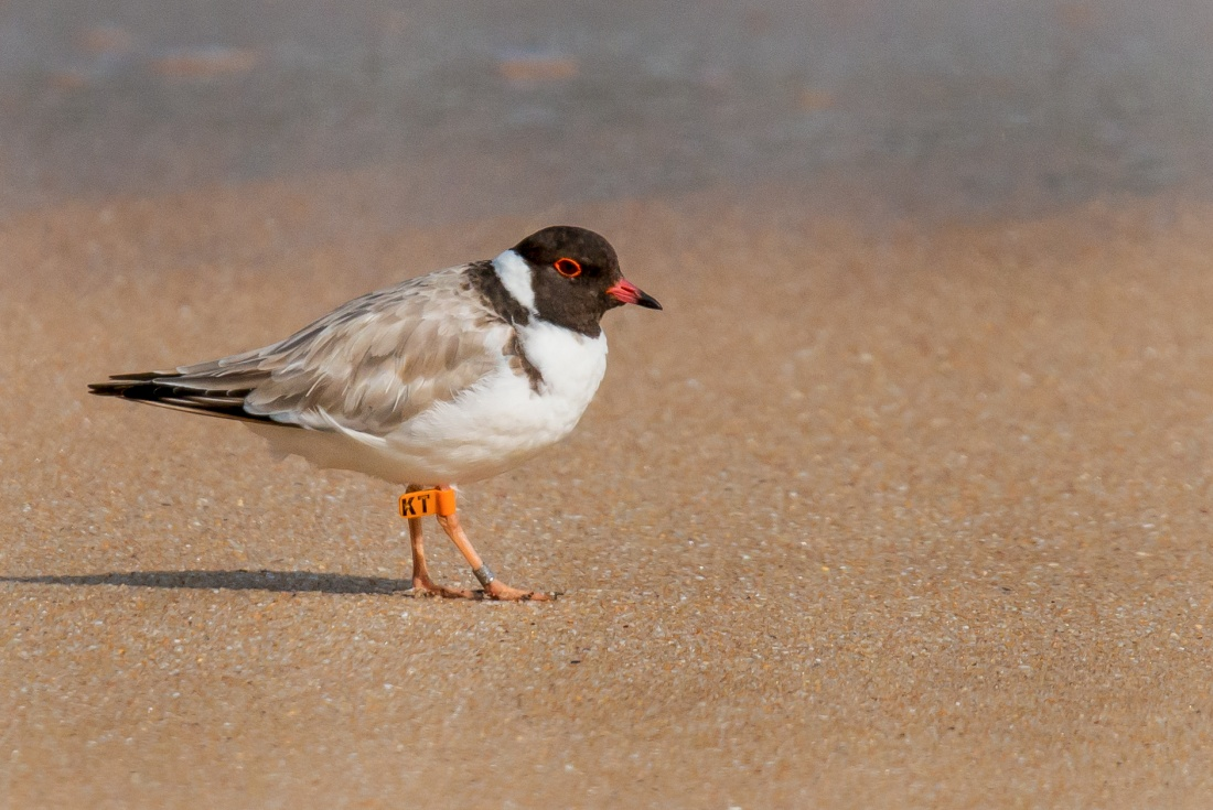 Hooded Plover Point Nepean