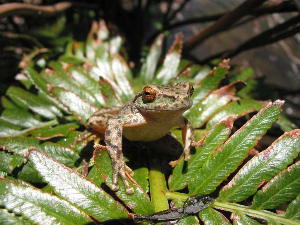 Spotted tree frog credit Glen Johnson