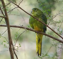 Orange-bellied Parrot. Credit Nick Talbo
