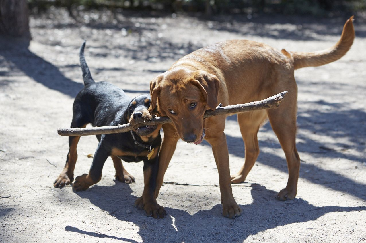 2 dogs sharing a stick.