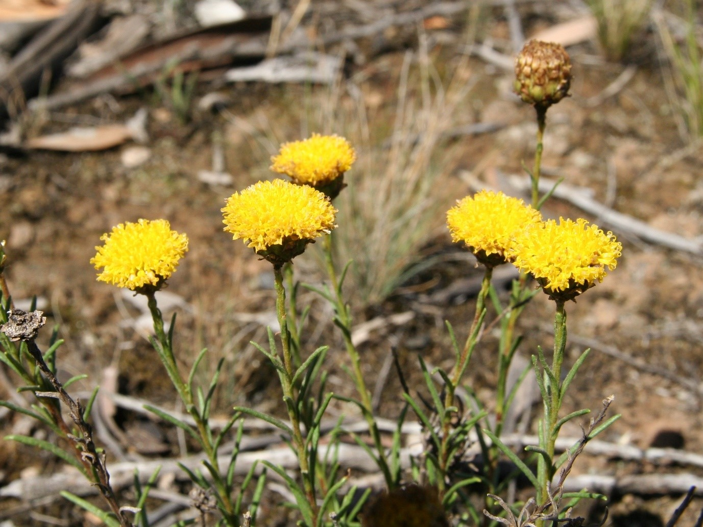 Button wrinklewort Credit: Steve Sinclair