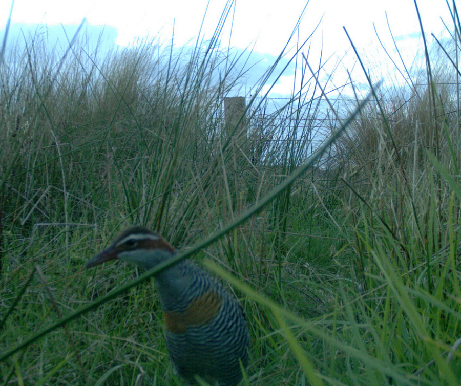 Buff-banded Rail at the Rowbottom's Land for Wildlife Property