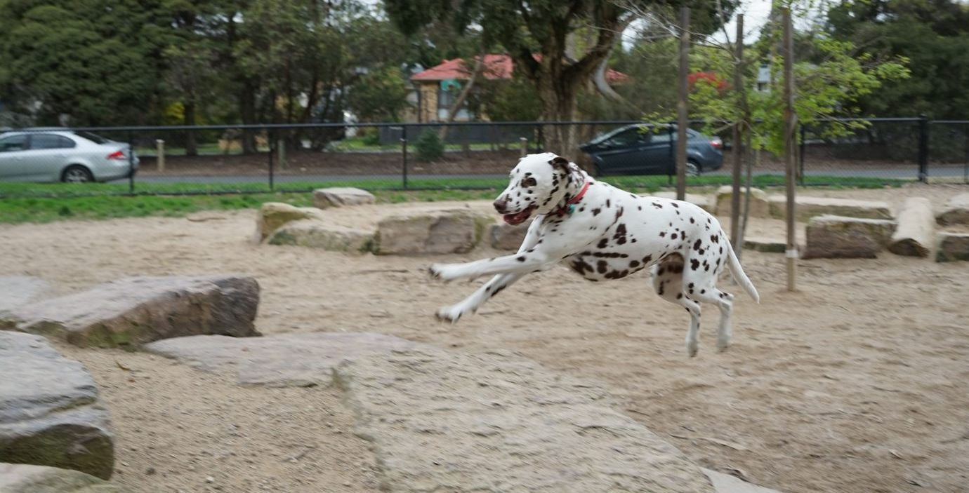 Dalmation dog jumping up in the air in enclosed park