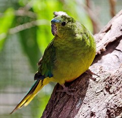 Orange-bellied Parrot. Credit Nick Talbot