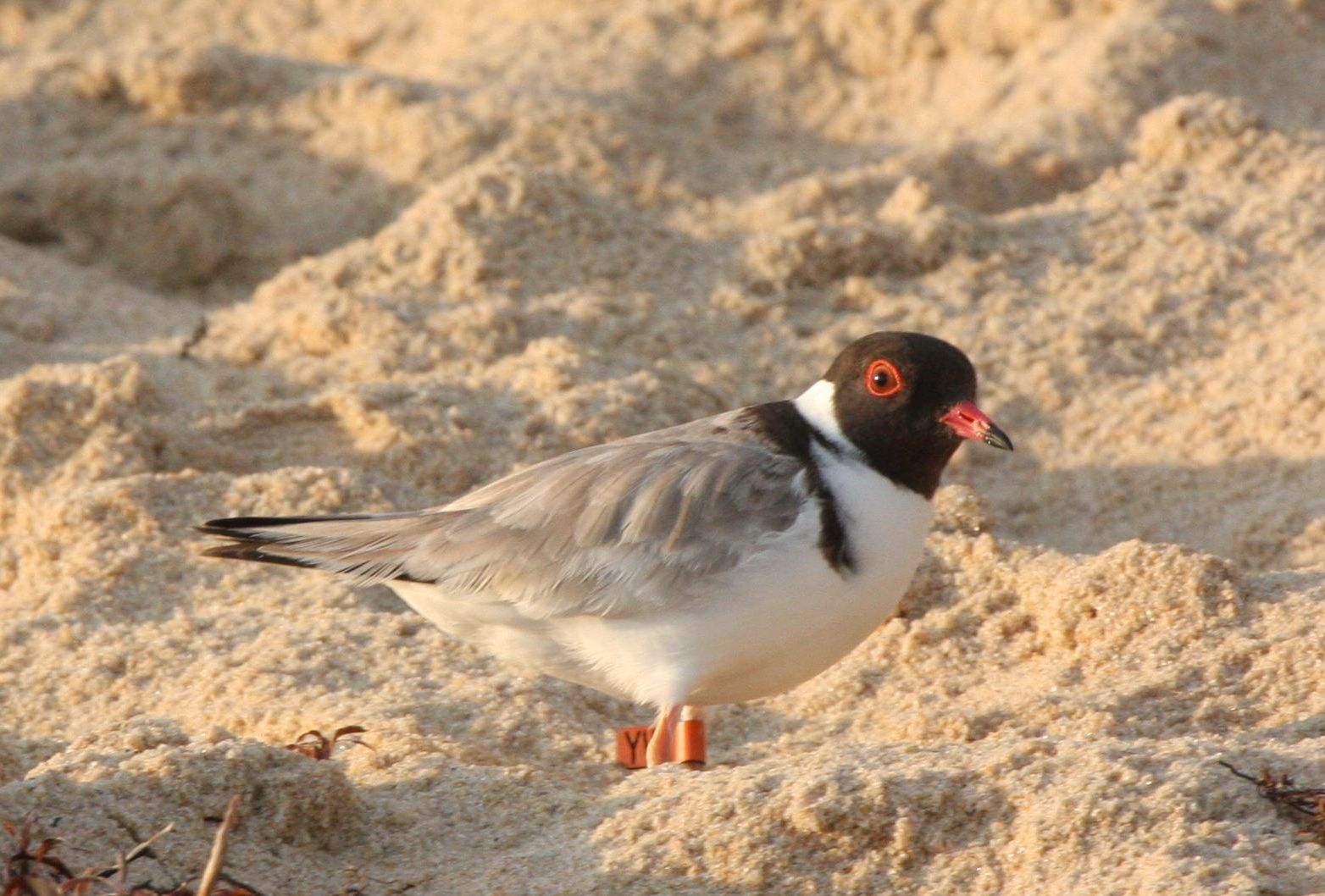 Hooded Plover. Credit Grainne Maguire