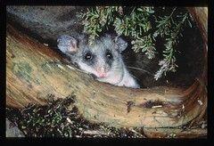 Mountain Pygmy Possum. Credit: DELWP (Fredy Mercay)